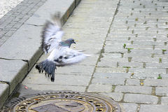 Free as a Pigeon. Photo of pigeon at Old Town Hall, Prague Royalty Free Stock Photography