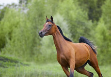 Free bay arab horse in action Royalty Free Stock Image