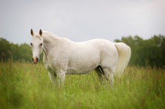 Free beautiful arabian mare Royalty Free Stock Photos