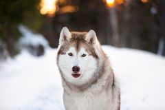 Free, beautiful and happy siberian Husky dog sitting on the snow in winter fairy forest at golden sunset. Close-up portrait of free, beautiful and happy siberian royalty free stock photos