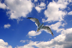 Free Bird. Flying Bird on the beautiful blue sky background Stock Photos