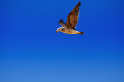 Free. A bird flying high without a care we can only envy as it passes by Stock Images