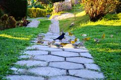 Feeding birds in the yard. Free birds come here to feed every days. The peace live in the place stock image