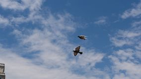 Free Birds Flying Over The City 3. Beautiful Birds Flying over the city Stock Photography