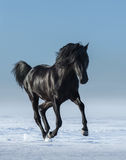Free black horse in the field in the winter. Royalty Free Stock Images