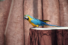 Free blue and gold macaw. Blue and gold macaw on a table royalty free stock photography