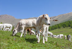 Free calf on Italian Alps Stock Photos
