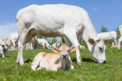Free calf on Italian Alps Royalty Free Stock Images