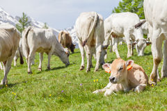 Free calf on Italian Alps Royalty Free Stock Photos