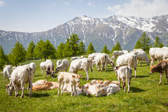 Free calf on Italian Alps Stock Images