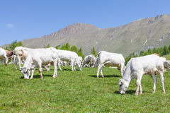 Free calf on Italian Alps Royalty Free Stock Photography