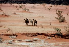 Free camels. Camel in the Jordan Desert of Wadi Rum Royalty Free Stock Photos