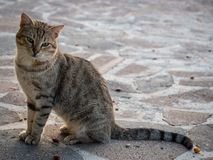 Tiger cat walking on the beach in Greece on sunset royalty free stock images