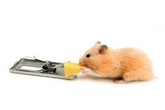 Free cheese is only in a mousetrap Royalty Free Stock Photo