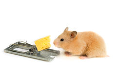 Free cheese is only in a mousetrap Stock Images
