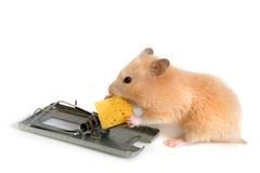 Free cheese is only in a mousetrap royalty free stock images