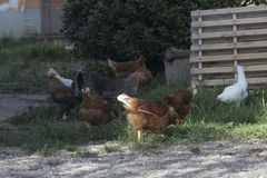 Free chickens in a farm. Some free chicckens in a farm stock image