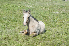 Free colt lying in the countryside Stock Image