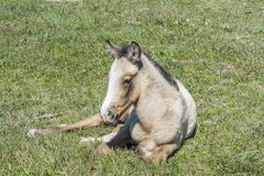 Free colt lying in the countryside Royalty Free Stock Photo