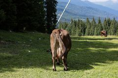 Cow. Free cow in Italy Royalty Free Stock Photo