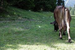 Cow. Free cow in Italy Stock Image