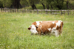 Free cow Royalty Free Stock Photography