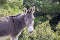 Free cute donkey looking at the camera in the green field. Free cute donkey alone looking at the camera in the green field Royalty Free Stock Image