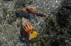 Free diver finds shells in the Aegean clear  sea. Free diver finds two shells in the Aegean clear  sea Royalty Free Stock Photography