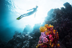 Free diver in the sea. Free diver gliding underwater over vivid coral reef in a tropical sea Stock Images