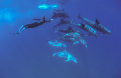 Free diving swimming with dolphins Royalty Free Stock Image