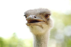 Free emu. In wildlife Royalty Free Stock Photo