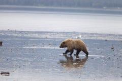 Free errant l'ours brun sauvage photographie stock libre de droits