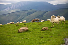 Free farm animals in mountains of irati, basque country, france. Farm friends pig and sheeps hanging together in green meadow of mountains of iraty, basque royalty free stock image