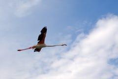 Free flight. Flamingo bird, flying over the Kamargu preserve on Mediterranean Sea coast royalty free stock photography