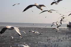Free flight of seagulls royalty free stock image