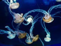 Free-Floating Luminescent Jellyfish. Jellyfish are soft-bodied, free-swimming aquatic animals with a gelatinous umbrella-shaped bell and trailing tentacles Royalty Free Stock Photos