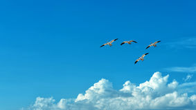 Free flying birds on blue sky background. Birds over blue sky background panoramic view with copy space royalty free stock photos