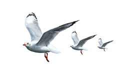 A free flying birds on white background. Seagull royalty free stock image