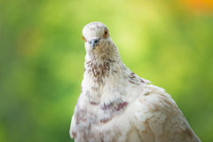 Free flying pigeon Royalty Free Stock Photo