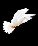 A free flying white dove. Isolated on a black background stock photography