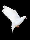 A free flying white dove Royalty Free Stock Photo