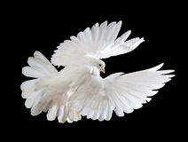 A free flying white dove isolated on a black. Background Stock Image