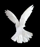 A free flying white dove isolated on a black. Background Royalty Free Stock Photography