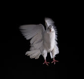 A free flying white dove Royalty Free Stock Photography