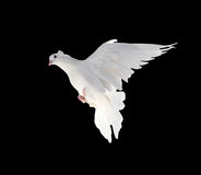 A free flying white dove isolated on a black background Royalty Free Stock Photos