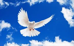 A free flying white dove isolated on a white backg Stock Photos