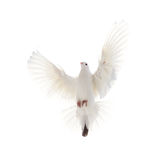 A free flying white dove isolated on a white background.  stock photo