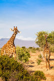 Free Giraffe in Kenya Stock Photography