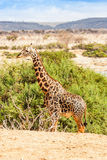 Free Giraffe in Kenya Stock Images