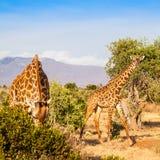 Free Giraffe in Kenya Royalty Free Stock Photos